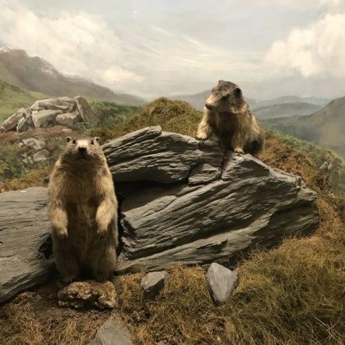 Diorama avec marmottes au Muséum d'histoire naturelle de Neuchâtel