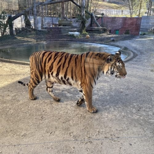 Tigre du Bengale du Sikypark