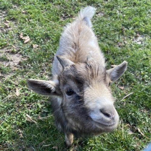 Chèvre de la ferme de la fondation CSC St-Barthélémy