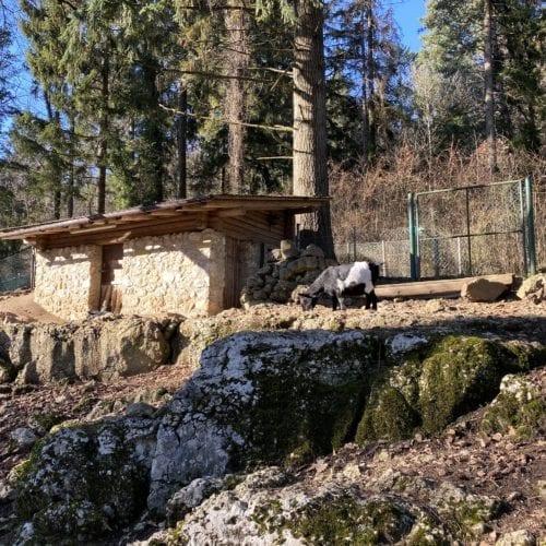 Chèvres naines au zoo de Bienne