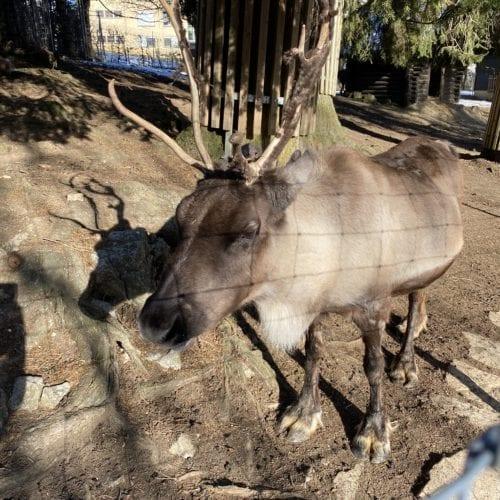 Renne au zoo du bois du petit château