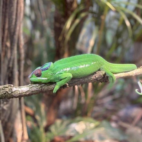 Caméléon du vivarium du Tierpark