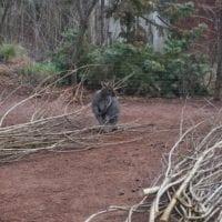 un wallaby